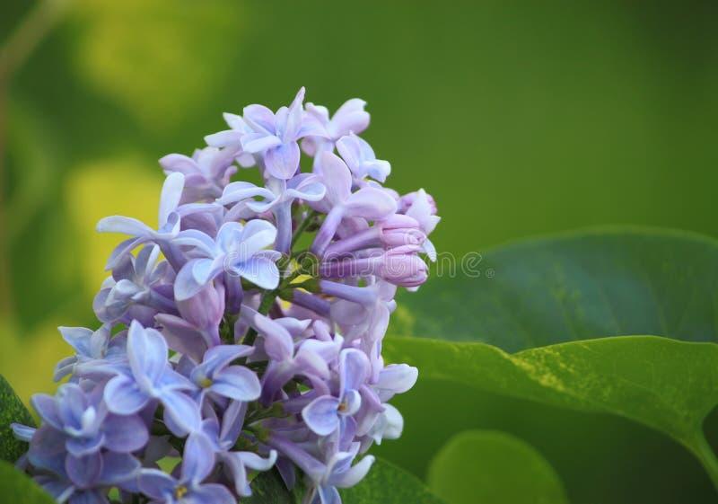 淡紫色花开花 库存图片
