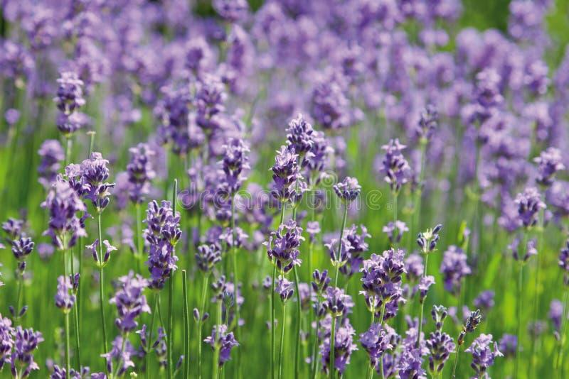 淡紫色花看法  免版税库存图片
