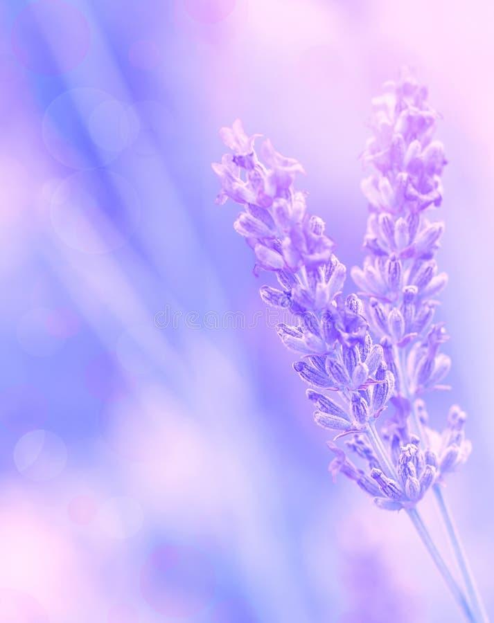 淡紫色花 免版税库存照片
