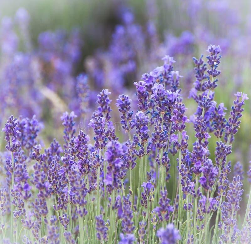 淡紫色花 库存图片