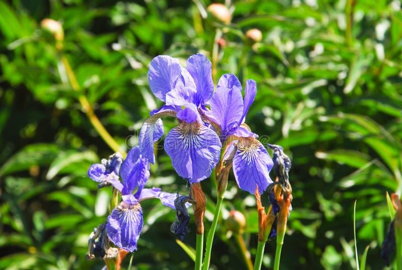 淡紫色西伯利亚虹膜虹膜sibirica 免版税库存图片