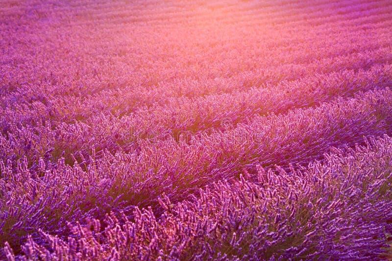 淡紫色领域和光在日落的 法国普罗旺斯 免版税库存图片