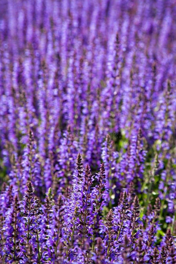 淡紫色领域在夏天 免版税库存图片