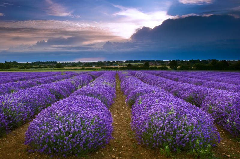 淡紫色领域在Heacham在北诺福克区,英国 库存照片