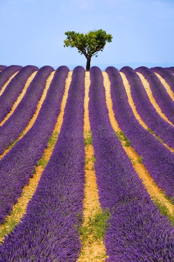 淡紫色领域在Valensole在夏天 普罗旺斯,法国的南部 免版税库存图片