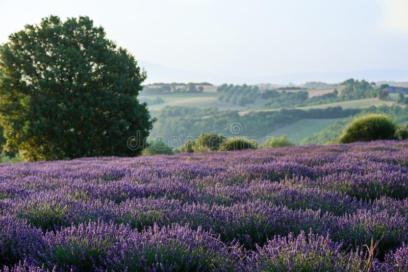 淡紫色领域早晨 免版税库存照片