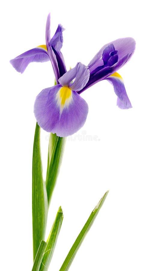 淡紫色,蓝色虹膜花,关闭,隔绝了白色背景 免版税库存图片