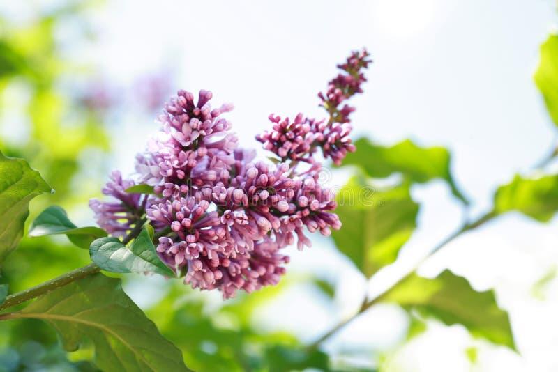 Download 淡紫色紫色枝杈 库存照片. 图片 包括有 野花, 室外, 结构树, 本质, 丁香, 夏天, 开花, beauvoir - 72354436