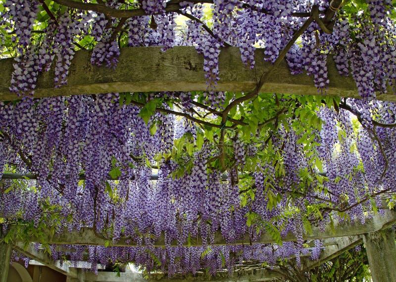 淡紫色紫藤的开花 库存图片