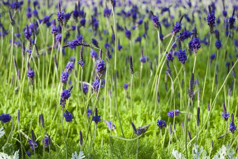 Download 淡紫色 库存图片. 图片 包括有 重点, 农村, 绿色, 本质, 工厂, 视图, 图象, 种植园, 有气味 - 30339015