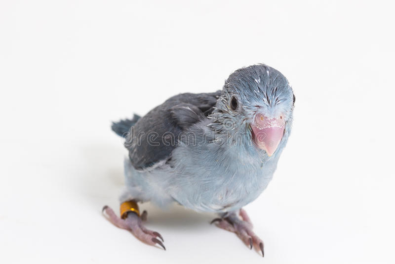 Download 淡紫色Forpus的小鸡 库存图片. 图片 包括有 婴孩, 鹦鹉, 宠物, 淡紫色, 小狗, 双翼飞机, 小鸡 - 72355135