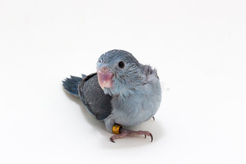 Download 淡紫色Forpus的小鸡 库存照片. 图片 包括有 鹦鹉, 小狗, 婴孩, 灰色, 双翼飞机, 敌意, 小鸡 - 72355144
