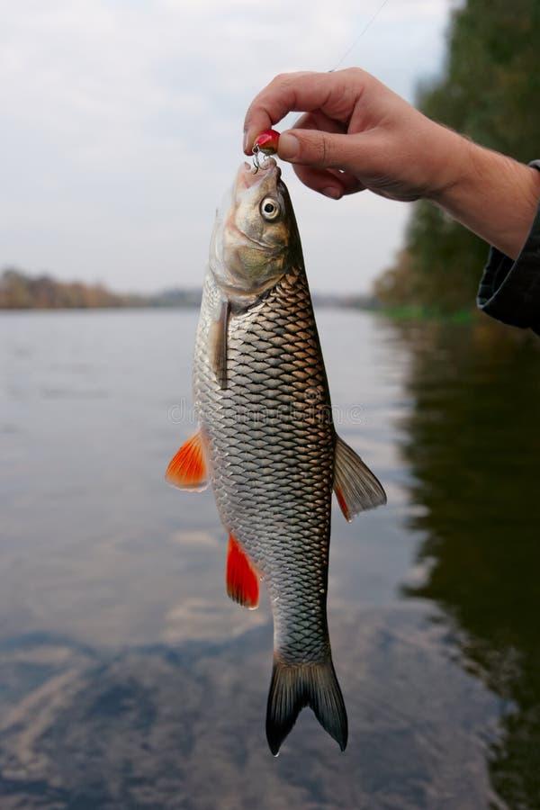 淡水鳔形鱼在渔夫的手上 免版税库存图片