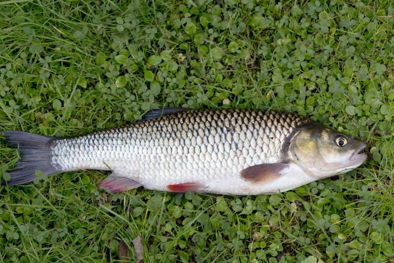 淡水鳔形鱼,详细淡水鱼 免版税图库摄影