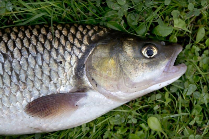 淡水鳔形鱼,详细淡水鱼 免版税库存图片