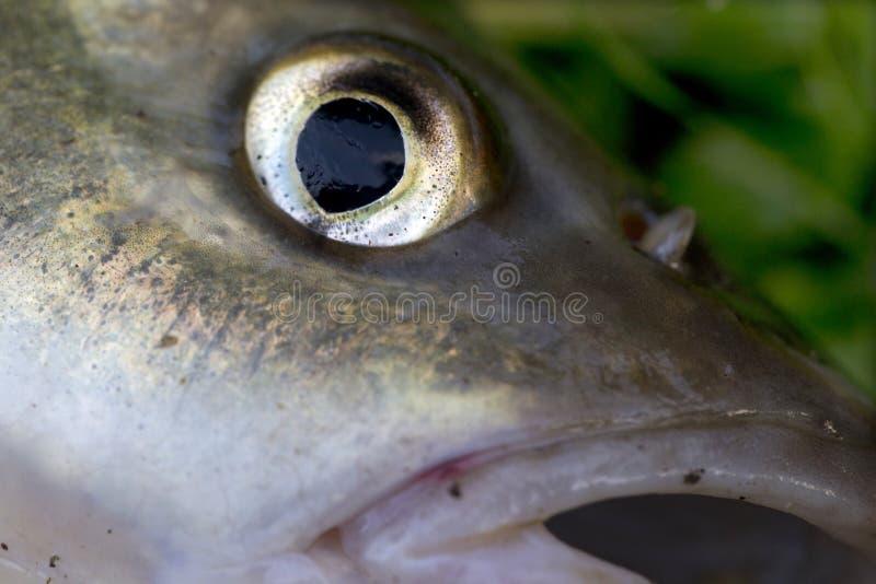 淡水鳔形鱼,详细淡水鱼 库存图片
