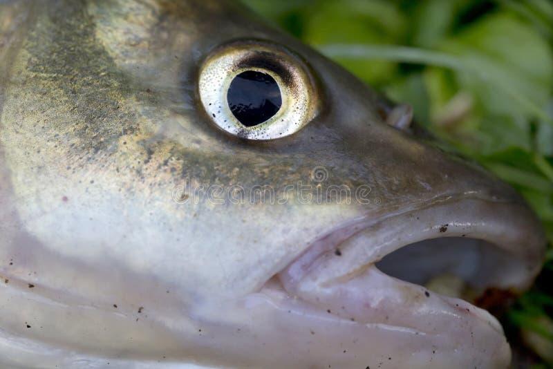 淡水鳔形鱼,详细淡水鱼 库存照片