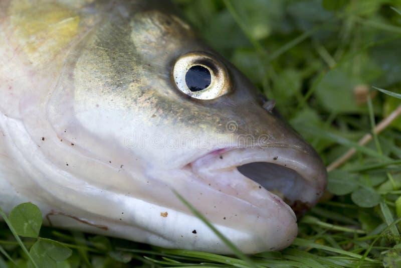 淡水鳔形鱼,详细淡水鱼 免版税库存照片