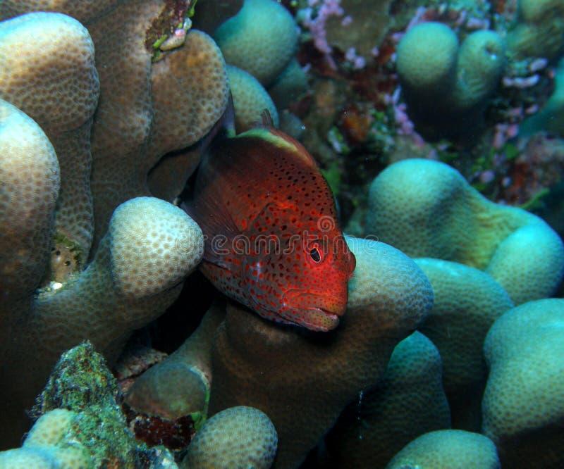 深刻的斐济有雀斑的hawkfish红色 免版税库存照片