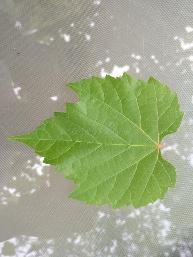 深度域浅葡萄的叶子 免版税库存照片
