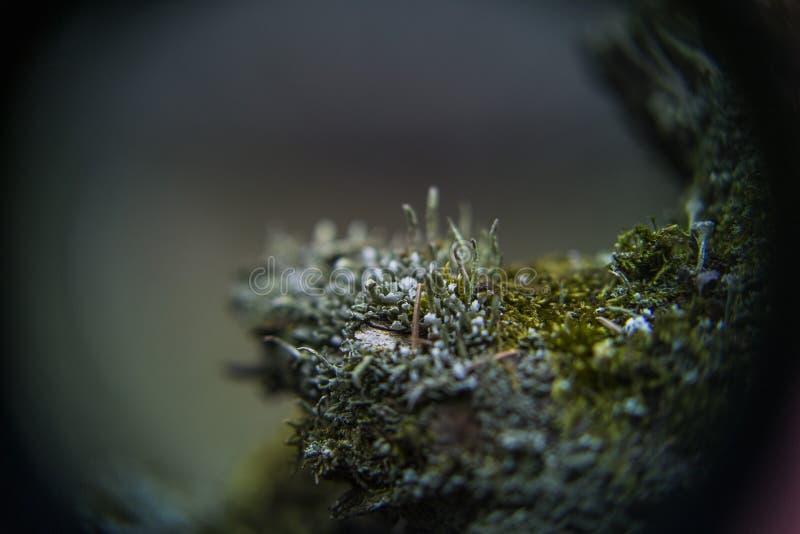 深深青苔和cladonie在森林里 免版税库存图片