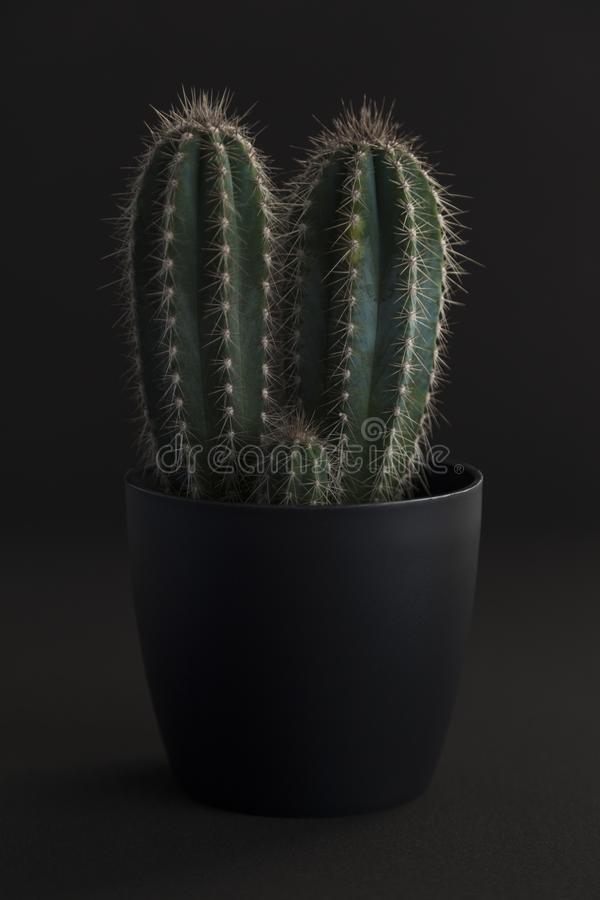 深灰罐的仙人掌植物 免版税库存图片