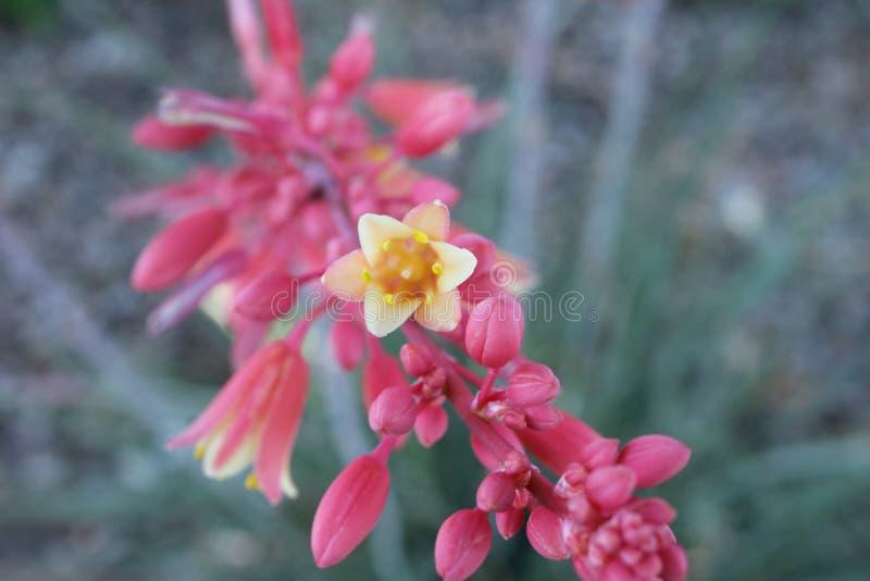 深猩红色红色丝兰花茎在阳光下 免版税库存图片