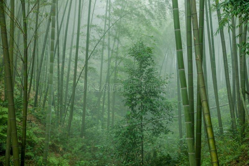 深竹森林在竹海域  免版税库存图片