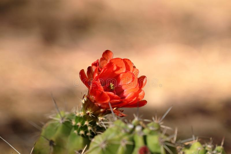 深紫红色与开花的红色花的杯仙人掌,迅速了移动 库存图片