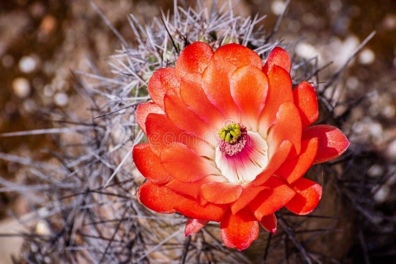 深紫红色杯Echinocereus triglochidiatus仙人掌花,加利福尼亚 库存图片