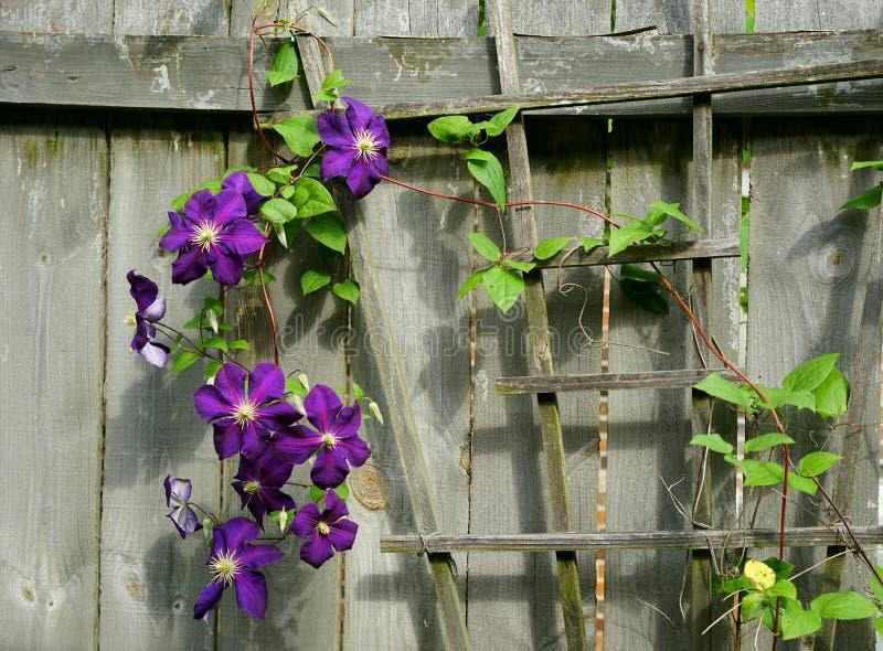 深紫罗兰色上升的铁线莲属藤 图库摄影
