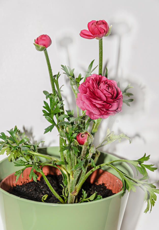 深红毛茛属花,毛莨科家庭 库存图片