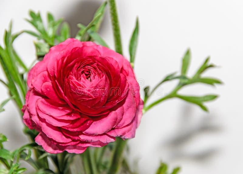 深红毛茛属花,毛莨科家庭 图库摄影