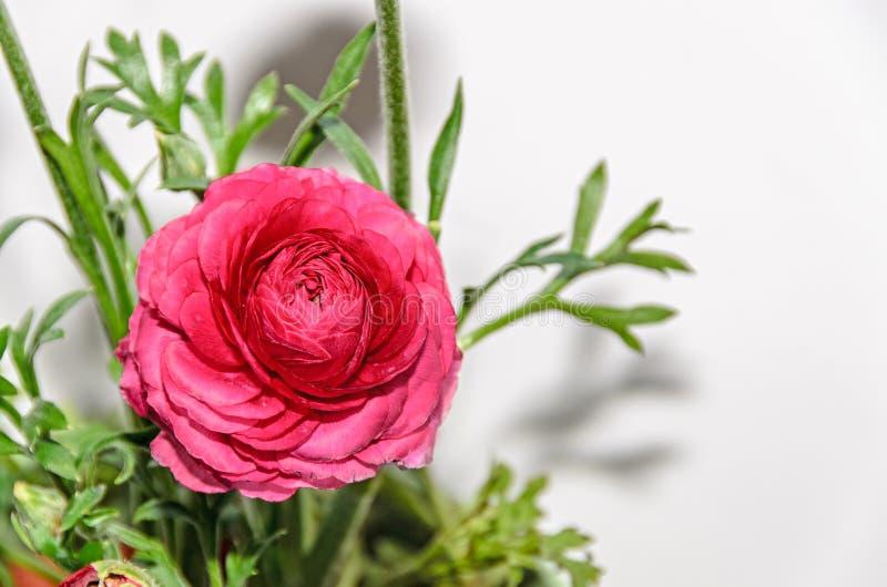 深红毛茛属花,毛莨科家庭 库存照片