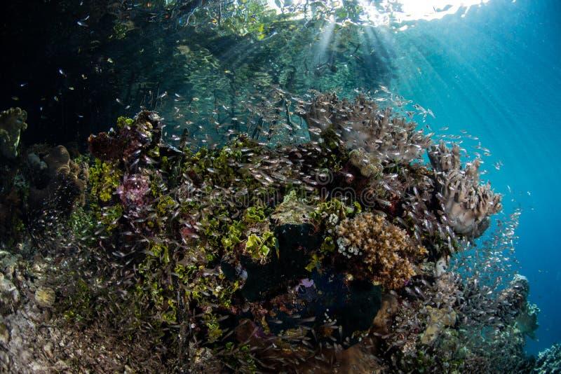 深红鱼和珊瑚学校在王侯Ampat 免版税图库摄影