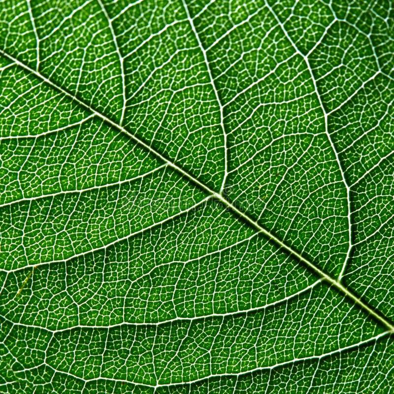 深绿叶子宏观照片  叶子静脉的自然样式作为您的想法的背景 顶视图 免版税库存图片