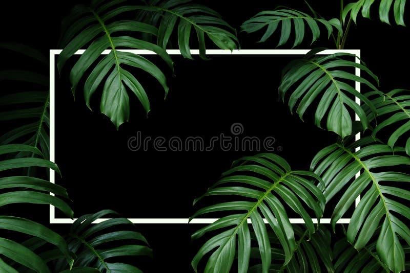 深绿叶子当地Monstera热带叶子自然框架布局有白色框架的森林植物在黑背景 库存照片