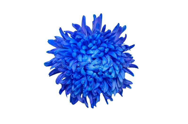 深蓝色菊花花被隔绝在白色背景 美好的大丽花Flowerhead宏指令 库存图片