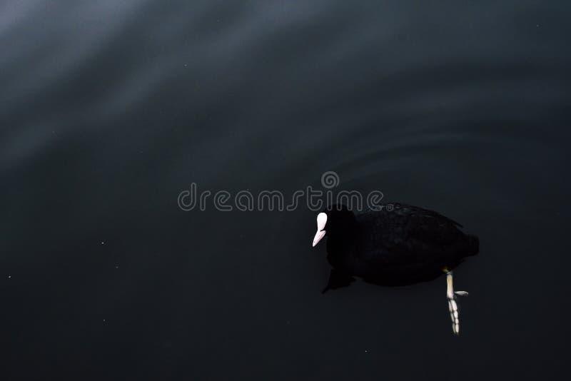 深黑色鸭子游泳在Spaarne河中水  在清楚的水下的详细的爪子 与哥特式的神奇图象 图库摄影