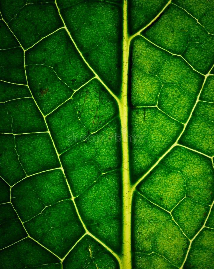 Download 深绿叶子细节有静脉的 库存图片. 图片 包括有 特写镜头, 抽象, 模式, 新鲜, 有机, 光合作用, 绿色 - 72368759