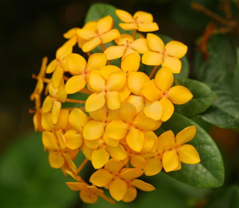 深黄色的八仙花属特写镜头 库存图片