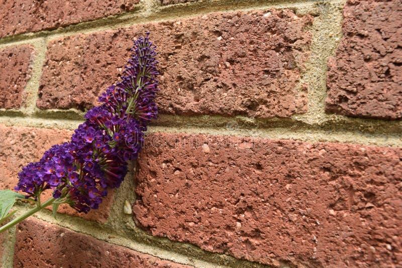 深紫色的蝴蝶灌木丛开花对红砖墙壁 免版税库存照片