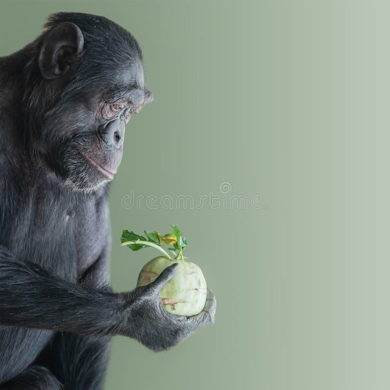 混乱的黑猩猩画象在拿着圆白菜的外形的被隔绝在光滑的绿色背景,特写镜头,细节 库存图片
