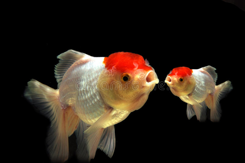 混合白色金鱼行动迷离,两 库存图片