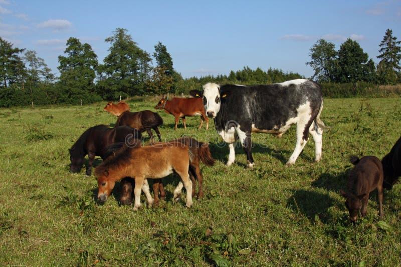 混合的牛牧群 免版税图库摄影