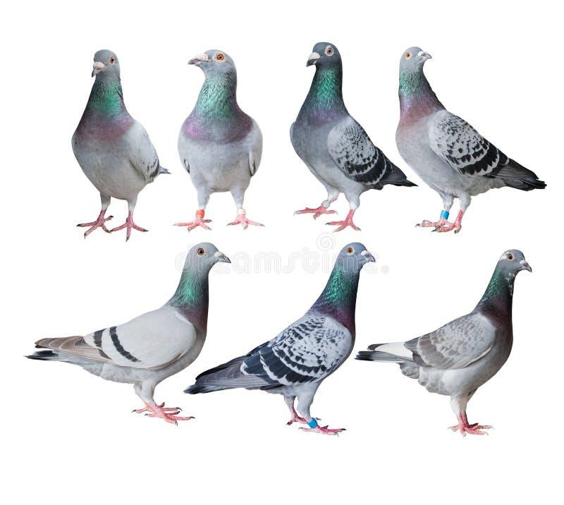 混合速度赛鸽鸟白色背景 免版税库存照片