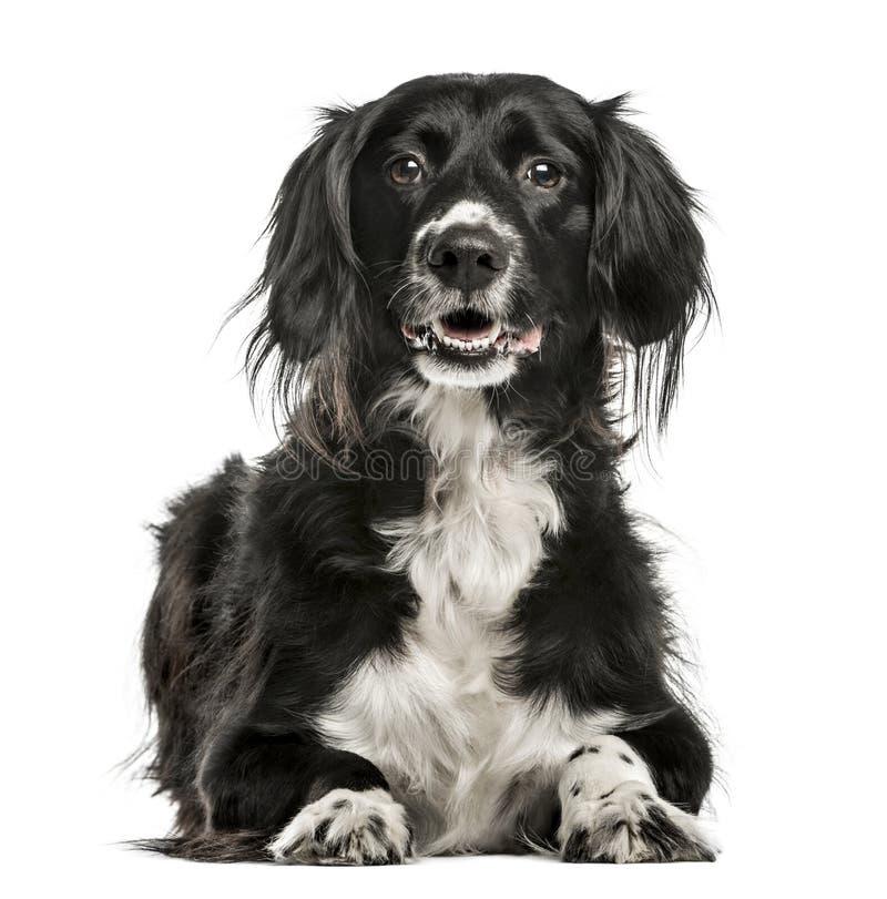 混杂品种狗, 10岁,隔绝在白色 库存照片