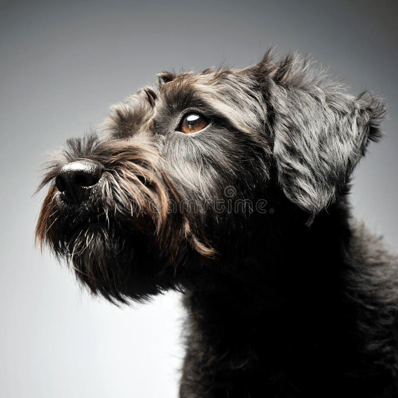 混杂的品种在演播室架线了头发狗画象 免版税库存图片