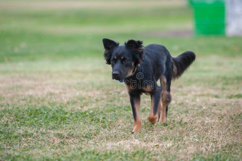 混杂的品种小狗锻炼 免版税图库摄影