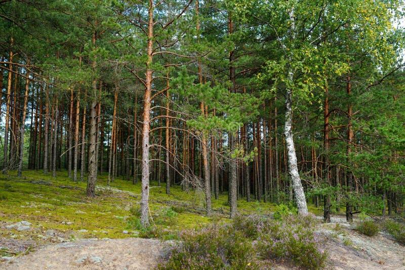 混杂的杉木和落叶林 免版税库存照片